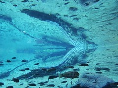 Alligator Tail Reflection (Douguerreotype) Tags: animal nature usa america water blue reflection fish