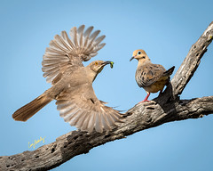 """I'm Outta Here with my Worm!"" (Cissy Beasley) Tags: curvebilledthrasher curvebilledthrasherandmourningdove mourningdove dove"
