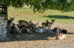 Deer shading at Prideaux Place Padstow (Graham Howarth) Tags: deer shading prideaux place padstow