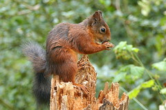 Red Squirrel (eric robb niven) Tags: ericrobbniven scotland dundee tentsmuir redsquirrel wildlife nature springwatch