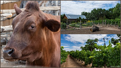 Summer At The Farm (Kerstin Winters Photography) Tags: animal sommer summer albuquerque newmexico collage nikon nikkor nikondigital nikondsl flickrnature flickr landscape landschaft outdoor bull farm