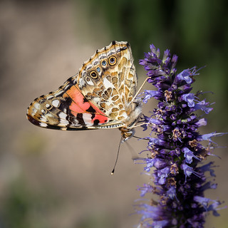 Painted lady 2018