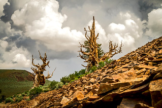 Ancient Bristlecones White Mountains California Fine Art Landscape Photography! Golden Ratio Ancient Bristlecone Pines! Sony A7RII Elliot McGucken Fine Art Landscape Photography!