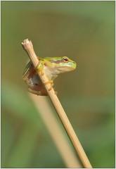 Rainette verte - European tree frog (Hyla arborea) (Manu - Photo Nature) Tags: rainette rana frog treefrog rainetteverte ranita hylaarborea amphibians amphibien amphibia grenouille macro macrophotographie macrophoto photonature canon eos70d 100mmf28