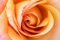 Lolita Rose (I), 4.30.18 (pattyoboe) Tags: 60mmlens rosa roses sanjoseheritagerosegarden flora flowers