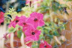 Flowers (Plexus) (goodfella2459) Tags: nikon f4 af nikkor 50mm f14d lens revolog plexus 200 35mm c41 film analog colour flowers nature rimini italy manilovefilm