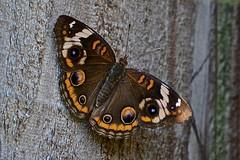 Common Buckeye Butterfly (view 2) (deanrr) Tags: fence commonbuckeyebutterfly butterfly insect macro morgancountyalabama nature commonbuckeye buckeye summer 2018 outdoor patterns designs symmetry symmetryinnature