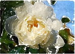 Gott, dich beschränkt kein Maß der Zeiten (amras_de) Tags: rose rosen ruža rosa ruže rozo roos arrosa ruusut rós rózsa rože rozes rozen roser róza trandafir vrtnica rossläktet gül blüte blume flor cvijet kvet blomst flower floro õis lore kukka fleur bláth virág blóm fiore flos žiedas zieds bloem blome kwiat floare ciuri flouer cvet blomma çiçek zeichnung dibuix kresba tegning drawing desegnajo dibujo piirustus dessin crtež rajz teikning disegno adumbratio zimejums tekening tegnekunst rysunek desenho desen risba teckning çizim