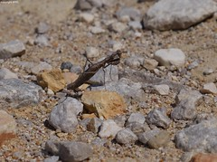 Gialova Mantidae (Phil Arachno) Tags: greece gialova peleponnes griechenland arthropoda mantidae insecta