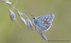 Chalkhill Blue (snapp3r) Tags: battlesburyhill chalkhillblue wiltshire butterfly