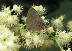 Calycopis bactra (Over 4 million views!) Tags: butterfly calycopisbactra lycaenidae panama butterflies insect