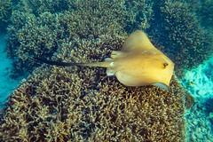 Heron Island Snorkel Underwater-16 (Quick Shot Photos) Tags: aquatechimagingsolutions canon canoncollective heronisland padi queensland scuba underwater snorkel bogie australia au