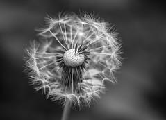 Make a wish... (VintageLensLover) Tags: pusteblume monochrome schwarzweiss natur outdoor blackandwhite bw dof schärfentiefe schärfeverlauf bokeh bokehlicious sonya7ii fe24105f4