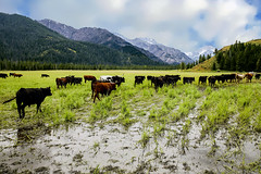 Mountain Pasture (wyojones) Tags: wyoming absarokamountains sunlightbasin sunlightcreek parkcounty shoshonenationalforest cattle herd bovine big pasture ranch mountainpasture longhorn steers wyojones np