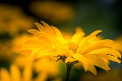 Sunflower (hjuengst) Tags: flower sunflower sonnenblume macro makro tutzing schaugarten bavaria bayern
