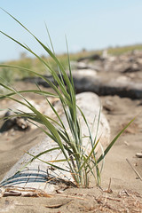 dune grass (annapolis_rose) Tags: beach sand beachgrass driftwood ionabeach summer richmond greatervancouver dunegrass