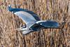 4497 (24-2-18) (mnauelribeiro) Tags: heron greyheron garçareal garça