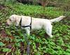 Gracie surrounded by green (walneylad) Tags: gracie dog canine pet puppy cute lab labrador labradorretriever april spring morning westlynn