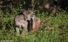 Itchy! (Marisa.Ishimatsu) Tags: marin marincounty pointreyes pointreyesnationalseashore prns bobcat lynx rufus lynxrufus mammal