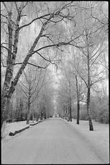 Caloniankuja alley (J Saari) Tags: spotmaticspii m42 spotmatic bw reproduction film kodak tmax 100tmx turku finland winter trees birch jupiter9 snow caloniankuja campus