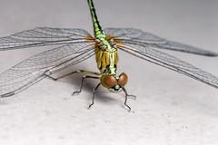Forward Lean - _TNY_3688 (Calle Söderberg) Tags: macro canon5dmkii canon canonef100mmf28usmmacro canoneos5dmarkii flash meike mk300 glassdiffusor insect odonata diplacodes trivialis chalkypercher vietnam phuquoc mercuryphuquocresortvillas wings compoundeyes yellow clearwings eyes obelisk redeyes stubble hair hairy beard libellulidae libellulidea segeltrollslända trollslända skimmer groundskimmer bluegroundskimmer phalerata braminea f16 ngc 5d2