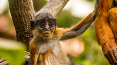 IMG_3979 (garrygeezer) Tags: redcolobus monkey primate baby nature wildlife garrychisholm canon gambia senegambiabeachhotel africa