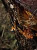 Aglais urticae - Small tortoiseshell - Крапивница (Cossus) Tags: aglais nymphalidae nymphalinae vanessa 2018 раздоры