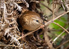 Jenny Wren leaving the nest (neil 36) Tags: jenny wren nest fledge trust bracken view bird british nature wildlife