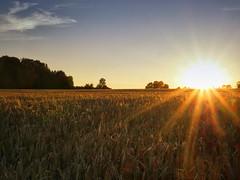 Golden hours (BeMo52) Tags: bäume himmel getreide feld kornfeld sonnenuntergang sundown natur nature landwirtschaft landscape