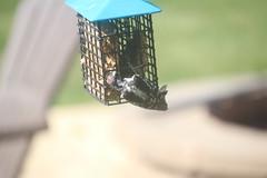 Juvenile Downy Woodpecker (Saline, Michigan) - June 30, 2018 (cseeman) Tags: downywoodpecker woodpecker suet feeder birds saline michigan backyard suetfeeder summer downysaline06302018 juvenile juveniledownywoodpecker