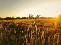 Cheshire Gold (joshdgeorge7) Tags: sony cheshire sun summer warm nights golden fields sunset nantwich xperia wildlife pub walks walking landscape nature agriculture england britain uk