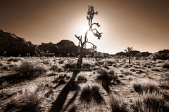 Dying in Light (Adventures in Infrared) (Torsten Reimer) Tags: olympusepl5 desert northamerica himmel wüste mojavedesert rocks joshuatreenationalpark unitedstatesofamerica baum infrared schatten shadows sky felsen usa infrarot california tree twentyninepalms unitedstates us