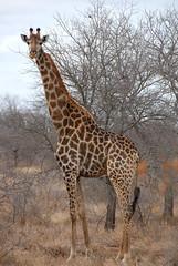 Sud Africa (kizeme) Tags: africa sudafrica giraffa kruger avventurenelmondo