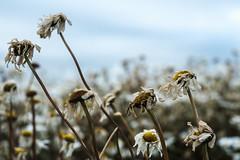 End of life (Wouter de Bruijn) Tags: fujifilm xt2 fujinonxf35mmf14r flower flowers flora daisy daisies nature death decay bokeh depthoffield walcheren zeeland nederland netherlands holland dutch outdoor