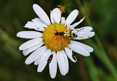 Daisy (Hugo von Schreck) Tags: hugovonschreck flower blume blüte macro makro daisy canoneos5dsr tamron28300mmf3563divcpzda010