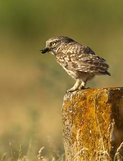 Little Owl, with Beetle prey