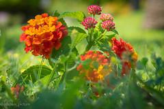 colors (harakis picture) Tags: fleurs flowers abigfave onlythebestofflickr flowerarebeautiful photothebestofmimamorsgroups