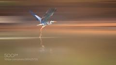 向着晚霞飞 (KevinBJensen) Tags: 日落 苍鹭 湖泊 飞行