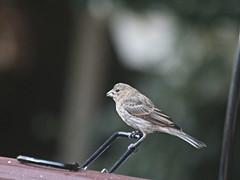 Sparrow on Deck (hbickel) Tags: sparrow deck deckrailing railing canont6i canon photoaday pad