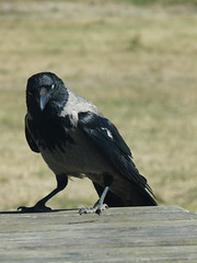 that was the 7th one, enough now (achatphoenix) Tags: wildlife dk dänemark danmark december juni nebelkrähe crow corneille
