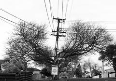 13 july 2018 - photo a day (slava eremin) Tags: 365 1day photoaday dailyphoto bw monochrome blackandwhite blanconegro bianconero auckland tree street nz newzealand