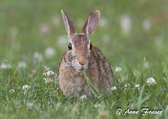 nom nom... (Anne Marie Fraser) Tags: easterncottontail rabbit easterncottontailrabbit nomnom nom eating cute grass nature wildlife flowers