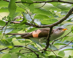 Infrequent Siting... (ragtops2000) Tags: bird yellowbilledcuckoo rare unusual strange beautiful first lifer tree timid colorful exciting spring migrating passingthrough branch