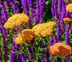 Helmsley Walled Garden (alh1) Tags: helmsleywalledgarden england yorkshire ryedale achillea