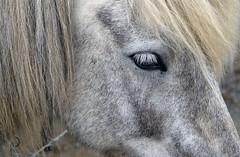 Pony islandais/islandic pony (bd168) Tags: pony cheval horse equine islande iceland friendly sociable calme calm xt10 xf50mmf2rwr closeup grosplan oeil eye
