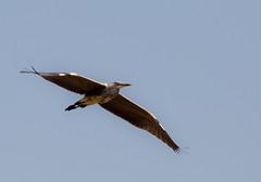 Grey Heron in flight 2 (PDKImages) Tags: greyheron heron bird flight feathers ukwildlife wildlife nature free sky grace poise inflight birdlife