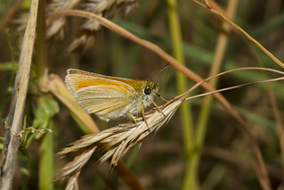 Small Skipper (Thymelicus sylvestris)_3