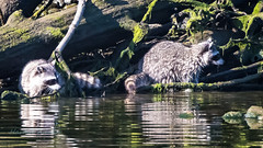 Double the Trouble, Double the Fun (ausmc_1) Tags: 2018 nikkor2oo500f56vr portalberni waterfront raccoons d800 somassriver water outdoor july canada nikon17tc britishcolumbia lowtide nature