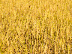 Mature harvest golden rice (www.icon0.com) Tags: field nature green rice plant agriculture crop food golden asia grass harvest plantation yellow paddy season farm ripe background cereal asian autumn rural growth farmland thailand grain organic seed brown