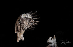 Tawny Owl inflight (Ian howells wildlife photography) Tags: naturephotography wildlifephotography ianhowells bbcspringwatch tawnyowl owl inflight night wales nature wildlife photography flash canonuk canon